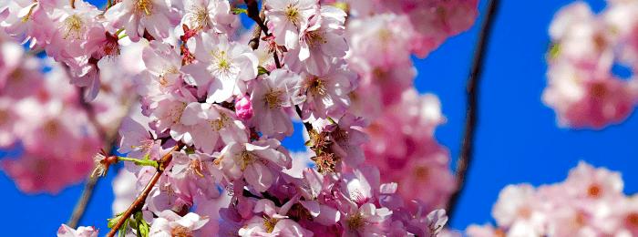 Japońskie drzewa wiśni